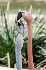 Pink Flamingo with Baby White flamingo