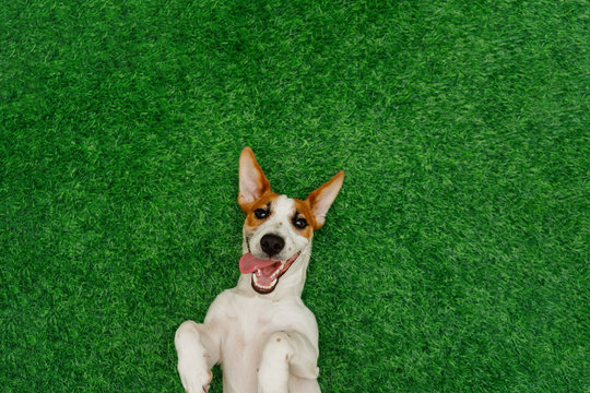 Smiling dog jack russel terrier, lying on green grass.