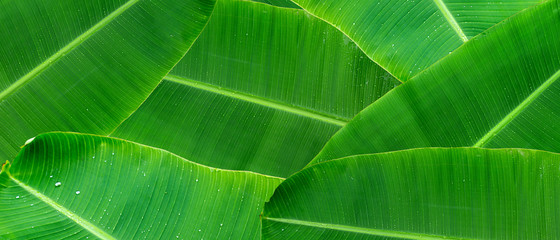 Green banana leaf background with copy specs for text. The leaves of the banana tree pattern.