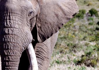 Big elephant in South Africa Papier Peint