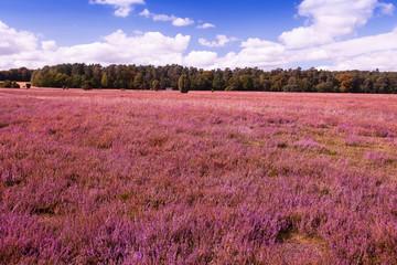 Poster Crimson Landscape with flowering heather (Calluna vulgaris) nature reserve Lueneburg Heath, Lower Saxony, Germany, Europe