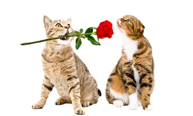Adorable cat presents a rose to a cat sitting isolated on white background