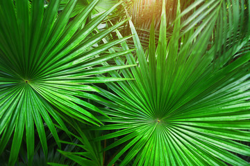 Wall Mural - Tropical green palm Leaves in exotic endless summer country with sunlight