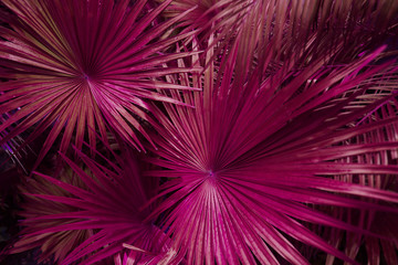 Wall Mural - Tropical pink palm Leaves in exotic endless summer country