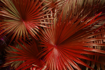 Wall Mural - Tropical red palm Leaves in exotic endless summer country