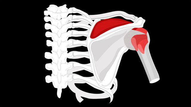 Supraspinatus muscle. Isolate on a black background.