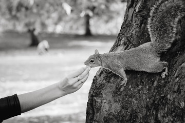 gray squirrel eats walnut from woman's hand. Black and white picture