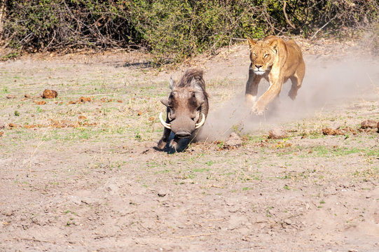 Lioness chase images in a series of images, 4/9 lioness chasing a warthog