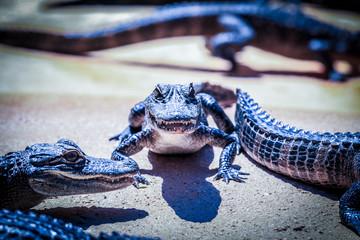 Jeune alligator aux Everglades Miami USA