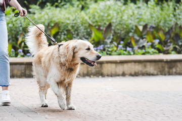 Wall Mural - cropped view of girl in casual clothes waking in park with golden retriever