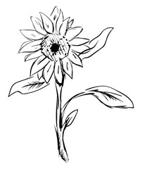Sunflower sketch, illustration, vector on white background.