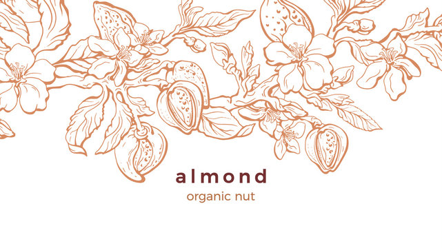 Almond. Vector background. Nature template