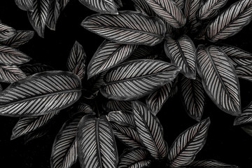 Fotomurales - monochrome leaves nature  background, closeup leaves texture, tropical leaves
