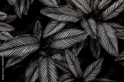 Wall mural monochrome leaves nature  background, closeup leaves texture, tropical leaves
