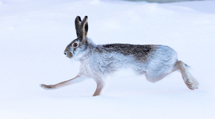 Wild hare in the snow