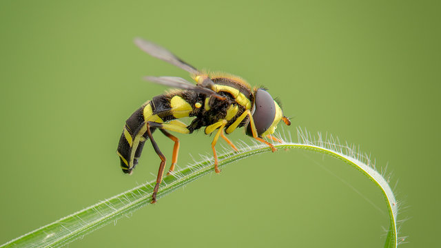Black and yellow striped bee on leaf