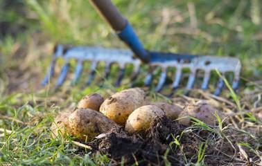 raccolto di patate in un orto