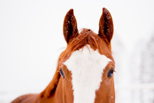 Close up of chestnut horse head in winter