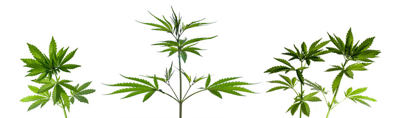 Several cannabis plants isolated on white background. Panoramic shot.
