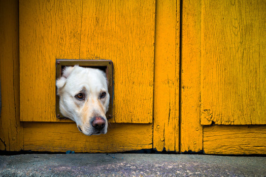 Head of Labrador dog sticking through cat flap in yellow wooden door