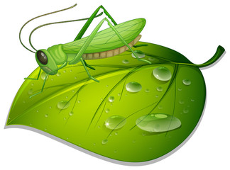 Grasshopper on green leaf on white background