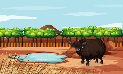 Scene with buffalo in the field