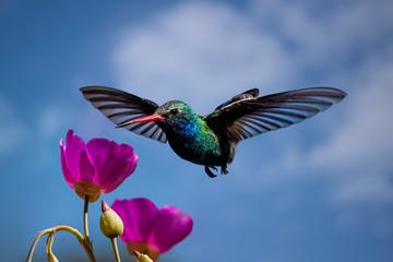 Broad-billed Hummingbird (Cynanthus latirostris) in Flight and Feeding