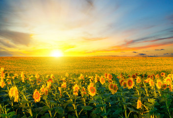 Fototapeten Orange Field of blooming sunflowers on background sunset.