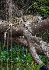 Wall Mural - Jaguar lies on a picturesque tree above the water in the middle of the jungle. South America. Brazil. Pantanal National Park.