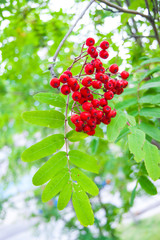 The end of summer or the beginning of autumn - leaves and grass are still green; bright red rowan berries stand out against their background