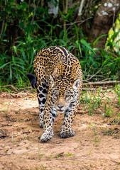 Wall Mural - Jaguar among the jungle. Close-up. South America. Brazil. Pantanal National Park.