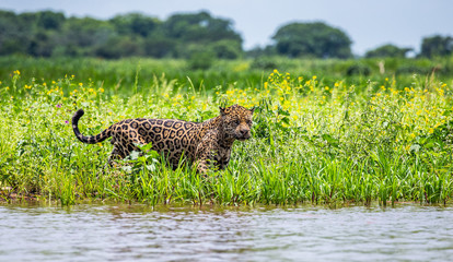 Wall Mural - Jaguar walks along the grass along the river bank. South America. Brazil. Pantanal National Park.