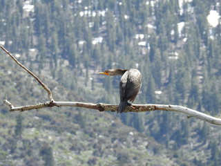 Double-crested cormorant, Eastern Sierra Nevada Mountains, Twin Lakes, California.