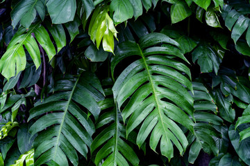 Green leaves pattern,leaf monstera in the forest for nature background