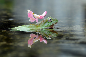 Foto auf Acrylglas Frosch dumpy frog with orchid mantis