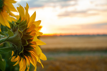 High-oleic sunflower growing in Ukraine on the field. Agriculture where sunflowers are grown. Morning landscape with sunrise and bright sunshine. Culture for the production of vegetable oil.