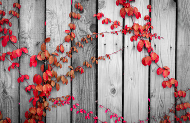 Red ivy climbing on wood fence. Creeper plant on gray and white wooden wall of house. Ivy vine growing on wood panel. Vintage background. Outdoor garden. Natural red leaves covered on wood panel.