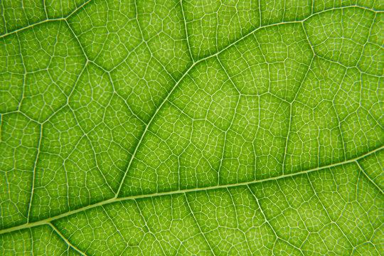 Macro shot of green leaf texture