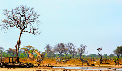 Panoramic view of a waterhole in Hwange National Park with zebra and giraffe against a natural bushveld and pale blue sky backdrop.  Heat Haze is visible, Hwange National Park,  Zimbabwe