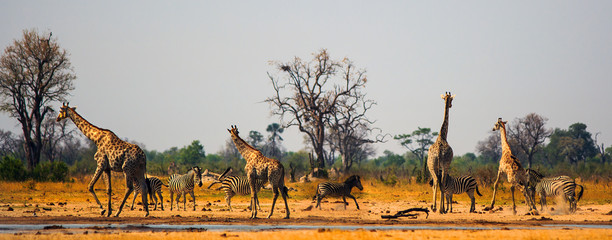 Panoramic scene of a vibrant waterhole in Hwange National Park.  Zebras and Giraffe congregate around a small waterhole in the midday sun, heat Haze and flying dust particles are visible.  Zimbabwe