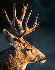 Dziki Jeleń na Wysokich Równinach Kolorado