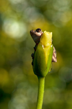 Natal Tree Frog, holding on, desperation, symbolic of life, when the going gets tough, hanging off a twig, branch, about to fall, hanging down, weather the storm