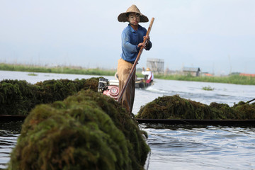 People collect algae in Inle lake to use as fertilizer for the floating farm in Nyaung Shwe