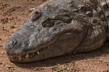 A close-up picture of a crocodile head