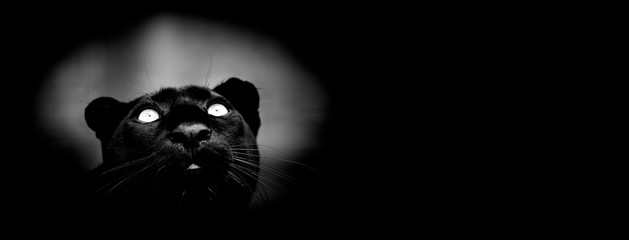Deurstickers Panter Black panther with a black background