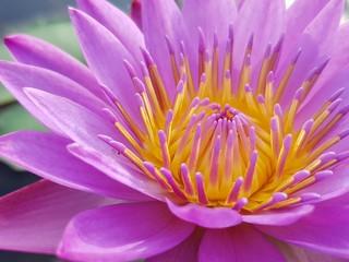 Foto op Canvas Waterlelies pink water lily