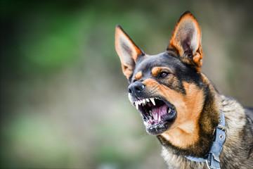 Aggressive dog portrait shows dangerous teeth. Animal hard attack head detail copy space. Wall mural