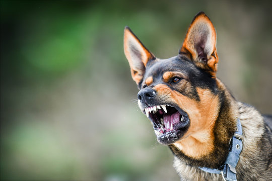 Aggressive dog portrait shows dangerous teeth. Animal hard attack head detail copy space.