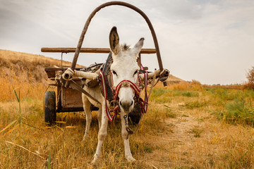 Spoed Foto op Canvas Ezel white donkey with a cart in the field, donkey with a cart looks at the camera