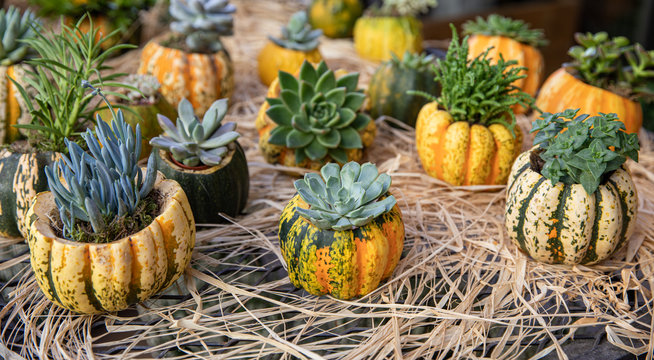 Decorated pumpkins with different succulents prepared for Thanksgiving celebration on the bar in the greek garden shop.